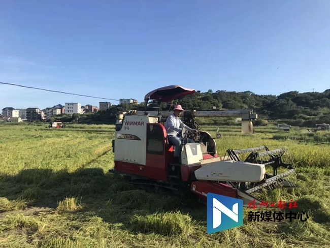 福清:和时间赛跑 农户半天抢收160亩早稻