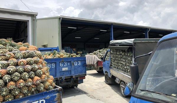 岛内菠萝滞销却仍在进口 蔡当局遭批没规划