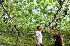 """前洋村农业采摘走""""高端""""体验之路"""