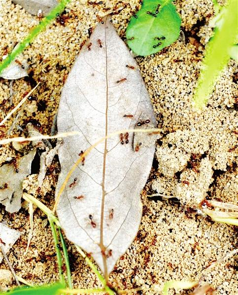 红火蚁入侵福州小区 上百居民被咬
