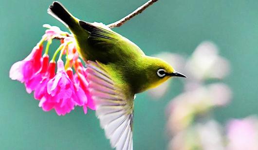 鸟类图鉴 | 绣眼鸟儿闹枝头