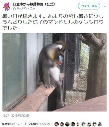 日本动物园这只山魈被热瘫了 却获5万多次点赞