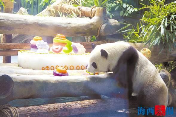 """国宝兄弟在厦开""""生日趴"""" 享用""""冰镇蛋糕"""""""