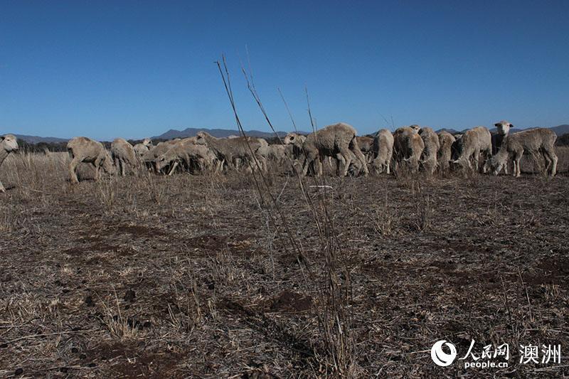 澳大利亚干旱持续 农场被迫出售大量牲畜