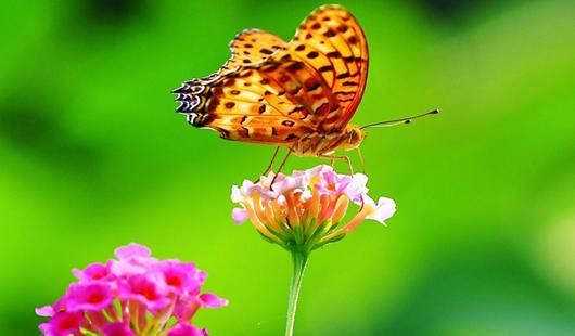福州温泉公园马缨丹花盛开引来成群彩蝶
