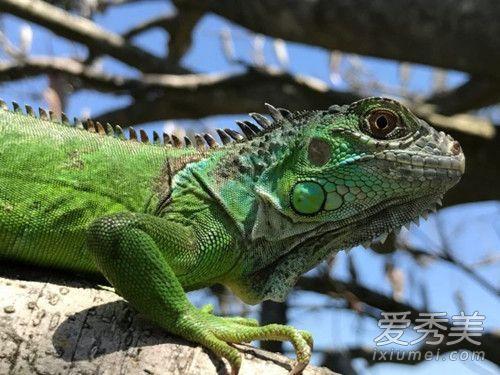 一出好戏绿蜥蜴有什么寓意 一出好戏蜥蜴出现那么多次含义解析