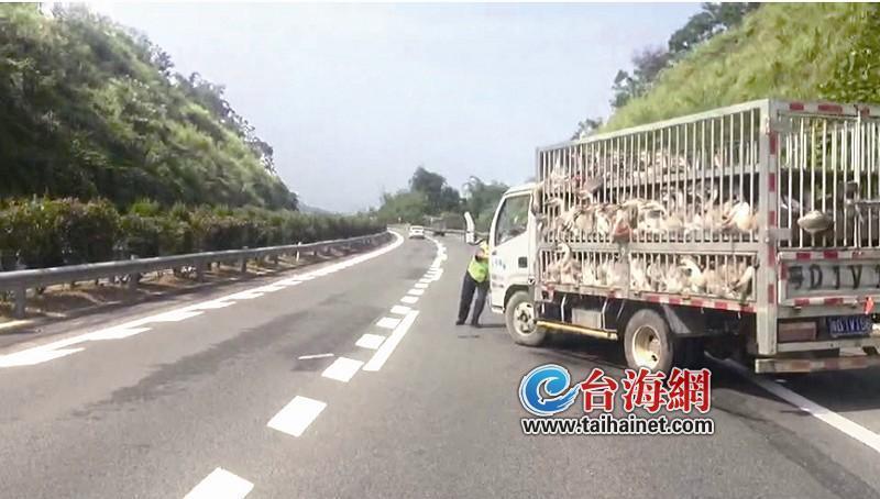 """漳州:货车没油抛锚 一车活鹅险成""""烤鹅"""""""