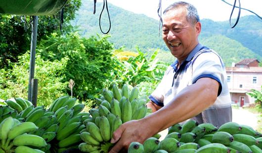 泉州罗溪:2000余亩香蕉林迎丰收
