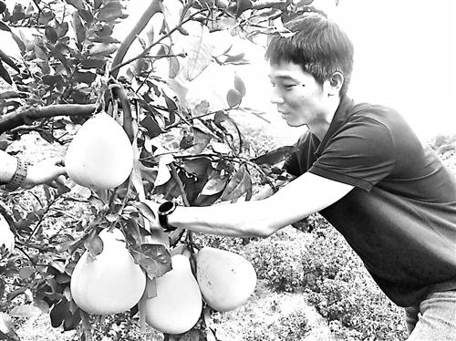 海都农家乐 周六义卖蜜柚