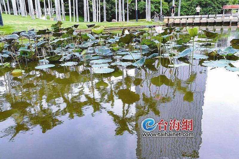 干涸了半年多 厦门莲花公园的水池又有水有鱼有荷花了
