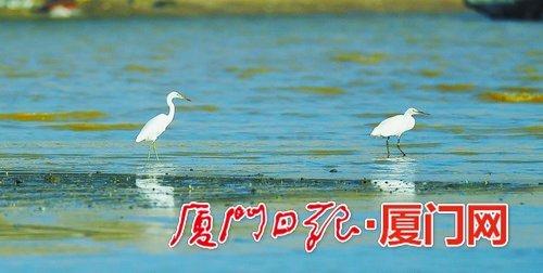 全球仅存不到2000只 罕见黄嘴白鹭又回来厦门度假