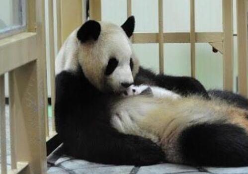 旅日大熊猫亮相被挤爆了,旅日大熊猫长什么样照片曝光