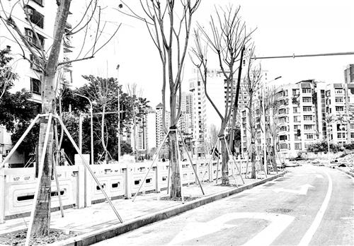 福州观风亭路 续种119棵菩提榕