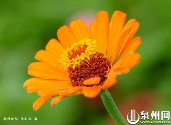泉州滨海公园百日草盛花期
