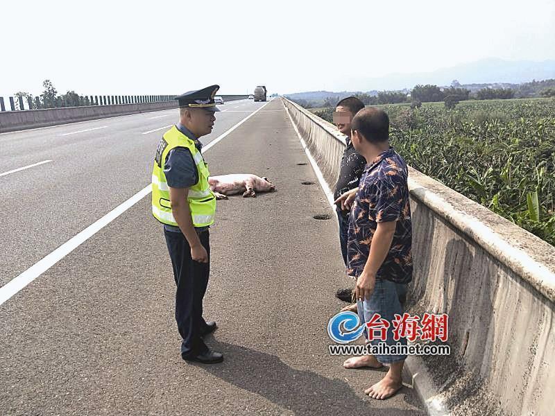 漳州:高速上掉下一头猪 猪主人竟徒步寻找