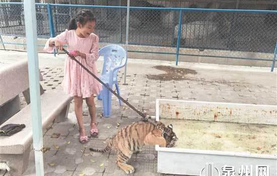惊!有小女孩在泉州市区东湖公园内遛老虎!