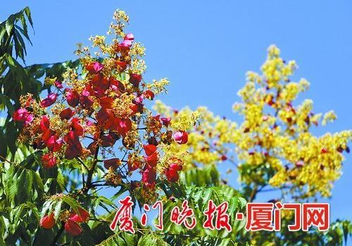 """台湾栾树结果鹭岛披""""秋衣"""" 街头秋景引市民赞叹"""