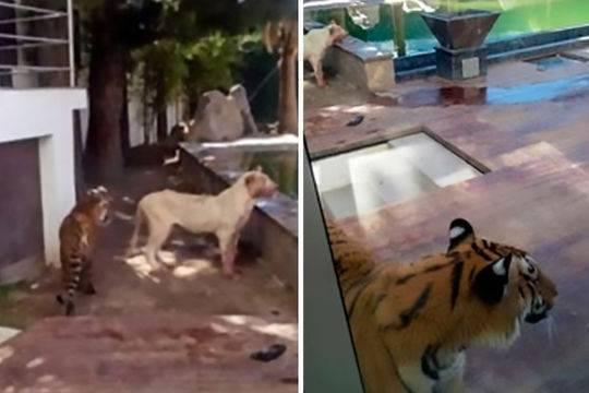 养非洲狮当宠物正当吗?墨西哥富豪养非洲狮被咬惨烈图片曝光