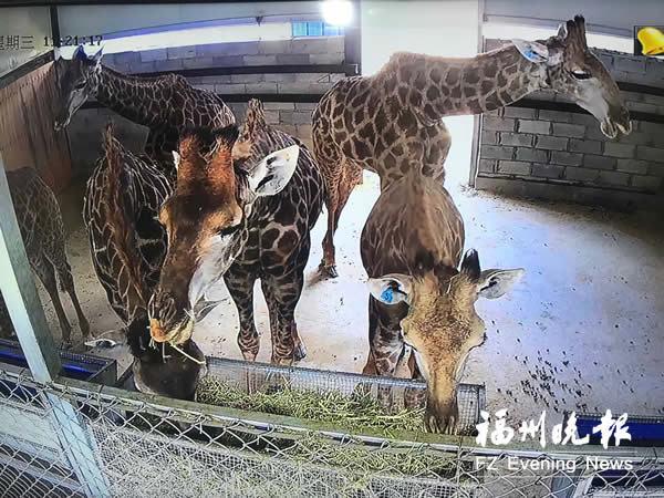 """66只长颈鹿在平潭""""洗尘""""30天 将运往多地动物园"""
