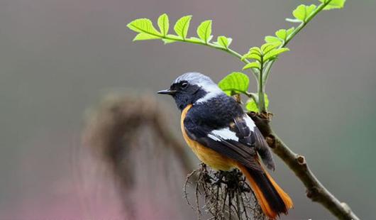 """""""信号鸟""""大规模飞来 福建迎来精彩冬候鸟观赏季"""