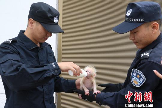 北豚尾猴獲救怎么回事?北豚尾猴是保護動物嗎在哪獲救?