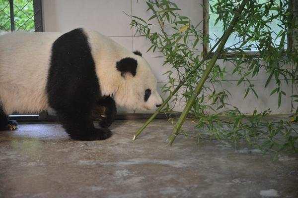 旅美熊猫高高回国怎么回事?旅美熊猫高高照片曝光为什么回国了