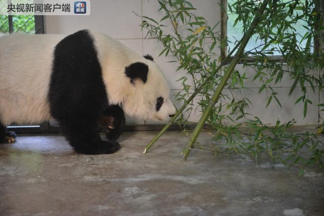 """△图/大熊猫""""高高""""逐步适应新环境"""