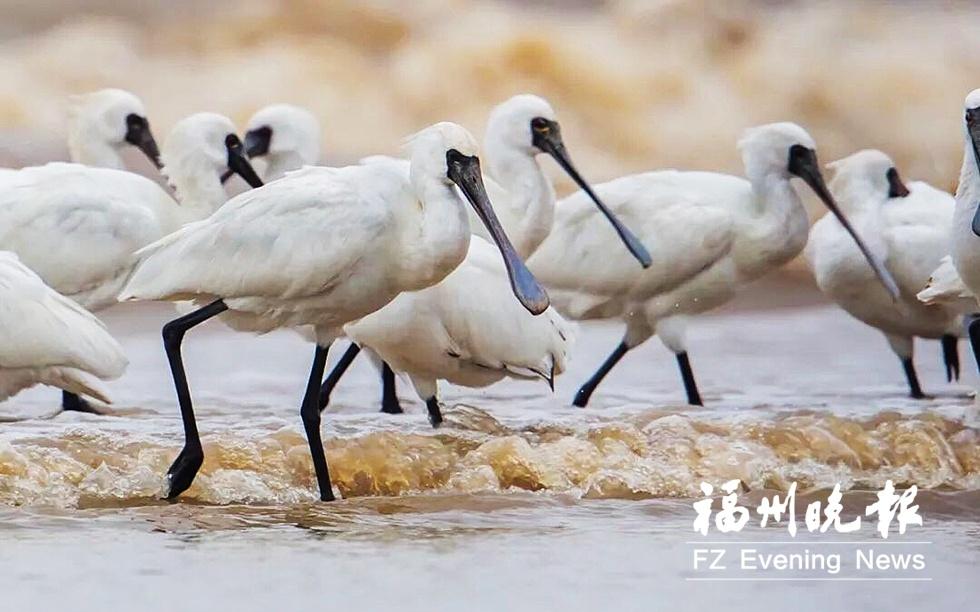近期大批候鸟抵达福州 到闽江河口湿地看黑脸琵鹭