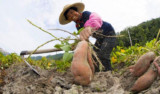 福建南安:曙光村甘薯種植富農家