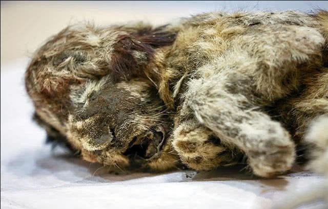 冰冻四万年幼狮高清照片曝光 科学家欲复活幼狮他们要