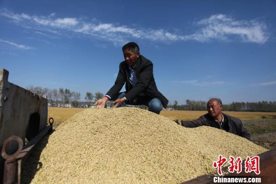 揚州萬畝晚稻開鐮收割 金黃稻田展秋日豐收畫卷
