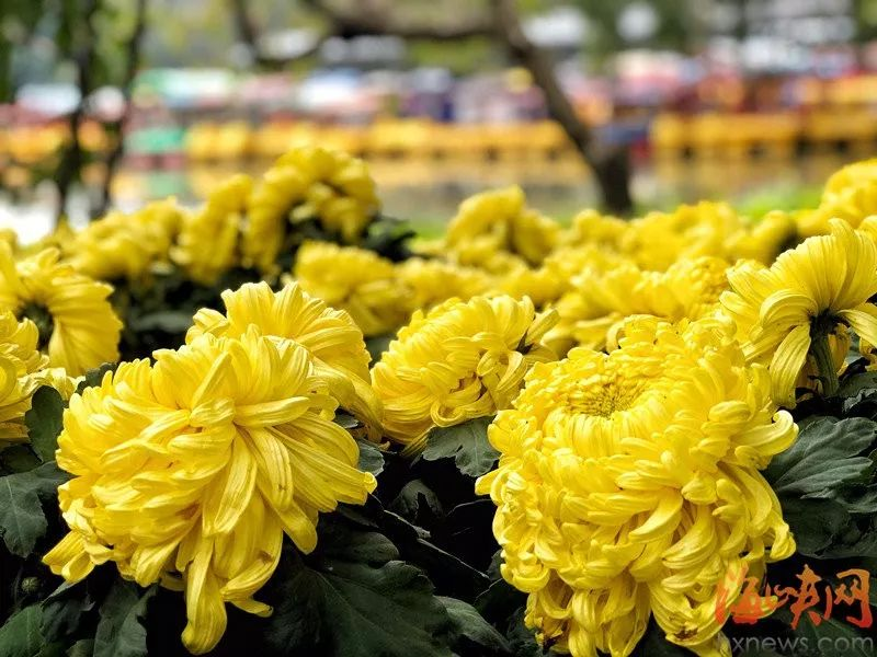 赞!福州西湖公园菊花展重回巅峰!一定要看!