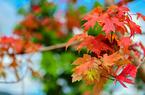福建福州:深秋添新色 八一公园枫叶红
