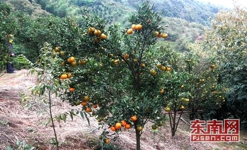 南平建瓯小桥镇:柑橘满枝头 果农忙歉收