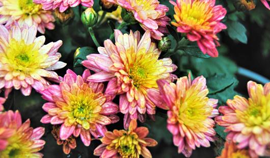 威彩平台:西湖左海菊花展 4万盆菊花争相斗艳