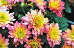福州:西湖左海菊花展 4万盆菊花争相斗艳