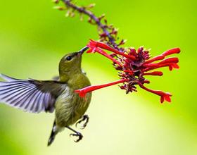 威彩平台国度丛林公园:太阳鸟与红苞花