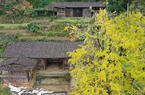 福建德化:杨梅乡第二届银杏文化旅游节开幕
