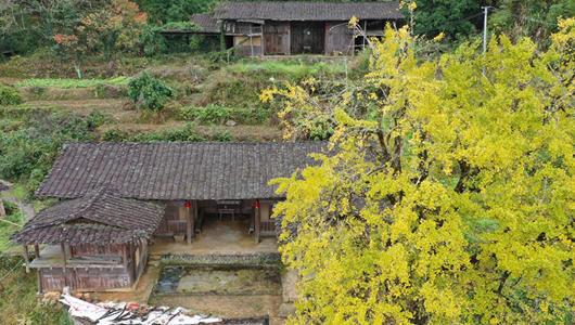 威彩国际德化:杨梅乡第二届银杏文明旅游节开幕