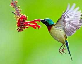 """福州国家森林公园:叉尾太阳鸟的""""花式舞蹈"""""""