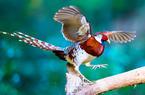 福建永安:白颈长尾雉 大美为美