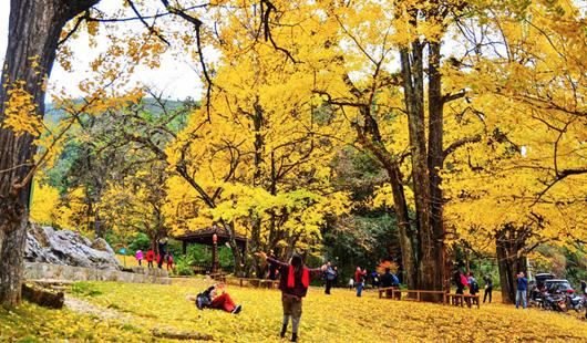 福建三明:银杏树下,万宅村的流年时光