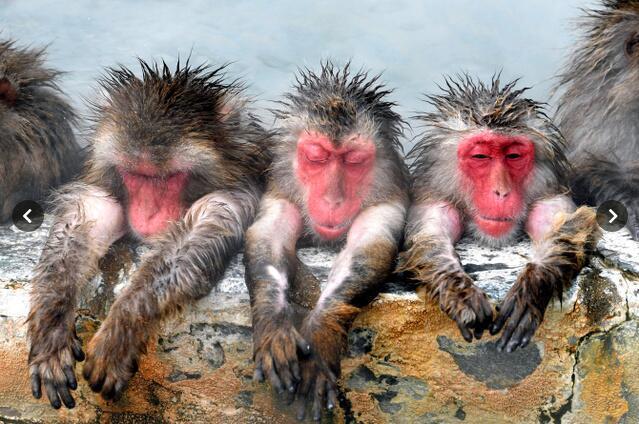 日本猴子又在泡温泉啦!边泡边吃烤红薯太惬意