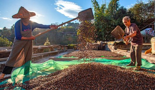 海峡网德化:茶油飘香时 村民乐着花