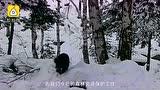 新疆阿勒泰现貂熊