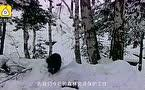 罕见监拍!新疆阿勒泰现貂熊等国家一级保护动物