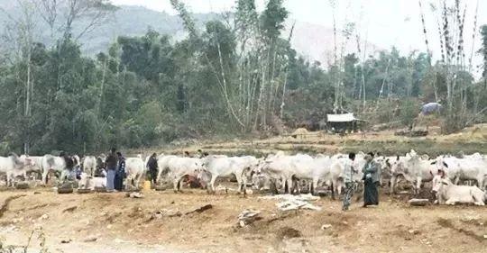 1天可卖出2000头!中缅边境木姐活牛市场为什么那么火?