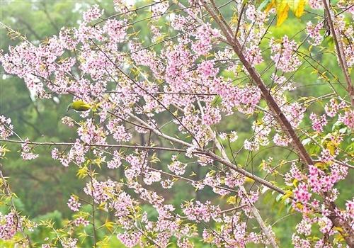 """福州金鸡山公园粉色山脊 冬樱花""""抢戏"""""""