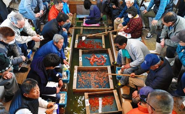 日本闻名金鱼产地举行新年初次竞拍