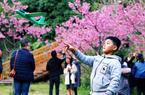 福州樱花渐入佳境 森林公园迎樱花季